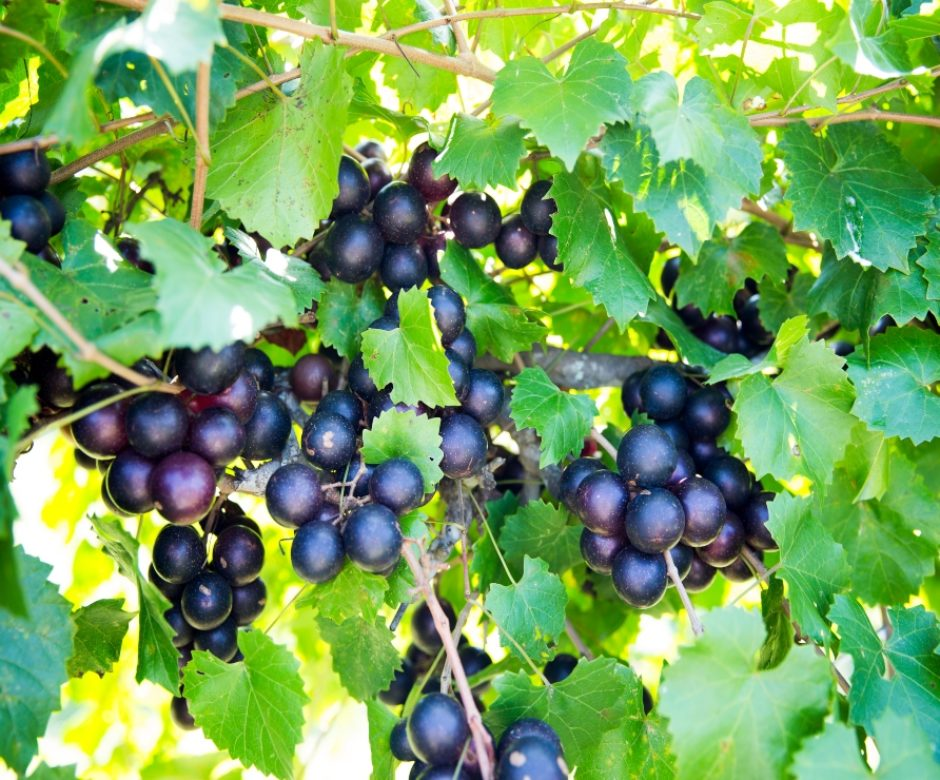 Grapes_Susina